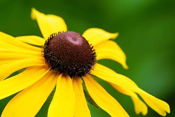 Photograph - Black-eyed Susan by Larry Ricker