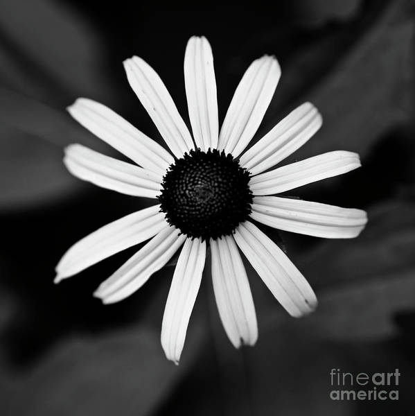 Photograph - Black Eyed Susan by Patrick M Lynch