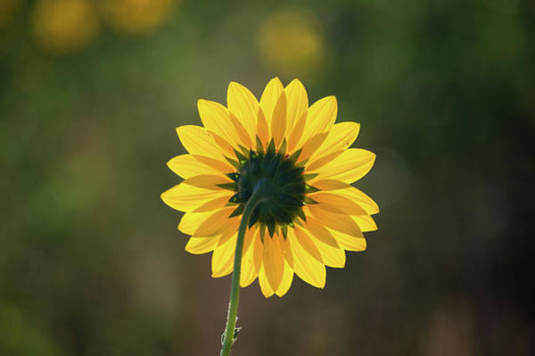 Photograph - Black-eyed Susan by Stephen Holst