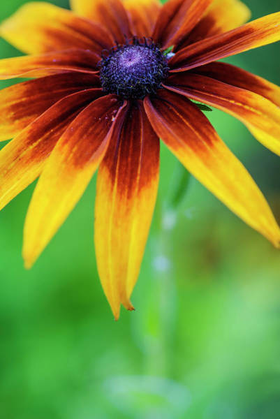 Mage Wall Art - Photograph - Black Eyed Susan by Vishwanath Bhat
