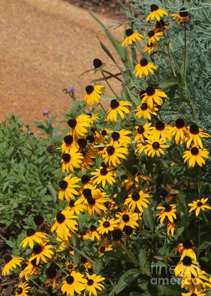 Photograph - Black-eyed Susans Cascade by Sabrina L Ryan
