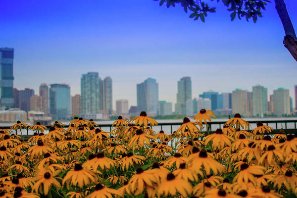 Photograph - Black Eyed Susans In Battery Park by Marvin Bowser