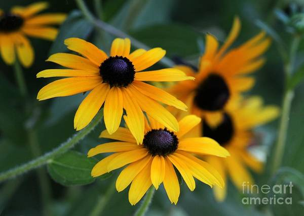 Photograph - Black-eyed Susans by Sabrina L Ryan