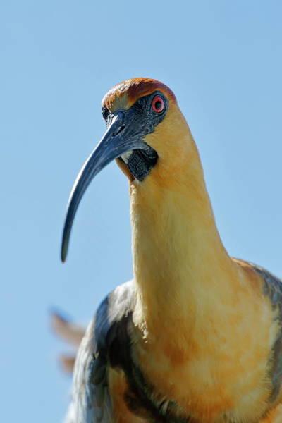 Nfs Photograph - Black-faced Ibis Closeup by Daniel Caracappa