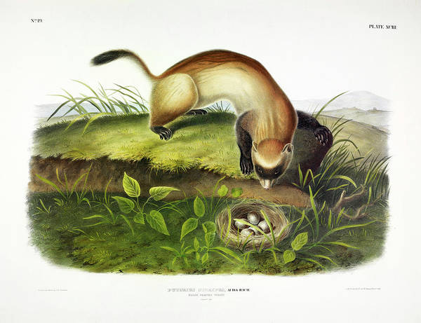 Ferrets Wall Art - Painting - Black-footed Ferret by John James Audubon