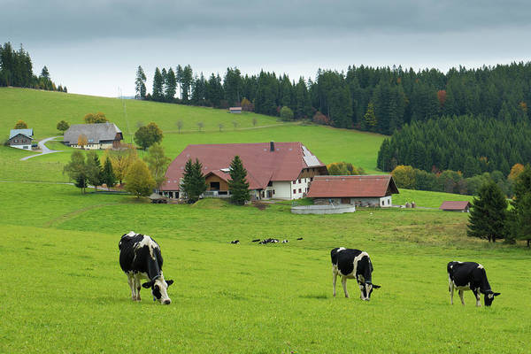 Photograph - Black Forest Cows Schwarzwald Germany by Matthias Hauser