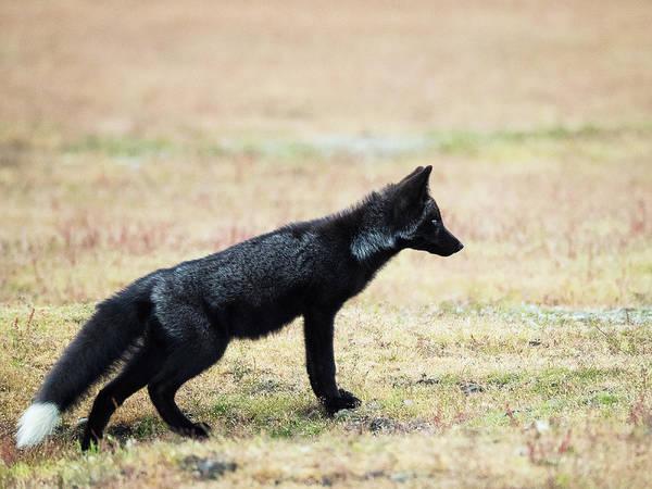 Wall Art - Photograph - Black Fox Kit by Stephanie McDowell