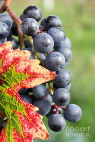 Black Grapes On The Vine Art Print