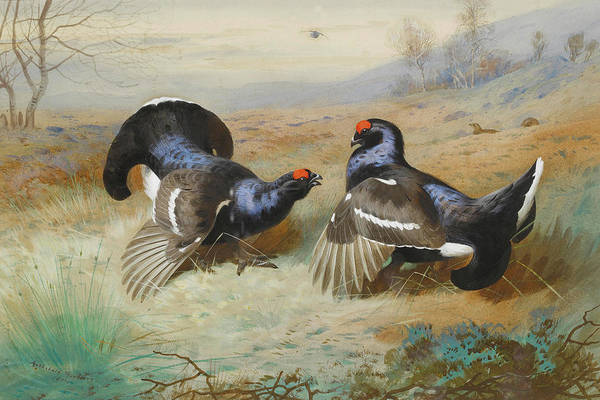 Mixed Media - Black Grouse By Thorburn by Archibald Thorburn