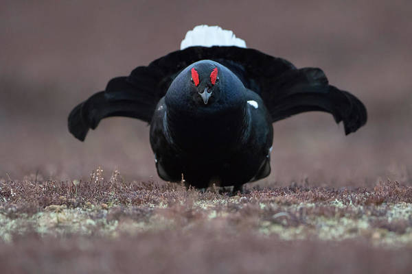 Photograph - Black Grouse Face Off by Peter Walkden