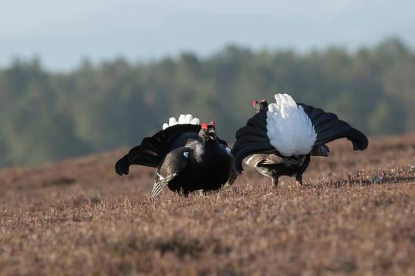 Photograph - Black Grouse Lek by Peter Walkden