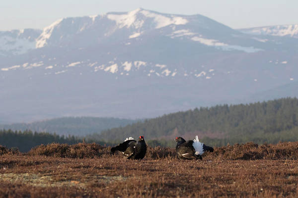 Photograph - Black Grouse Mountains by Peter Walkden