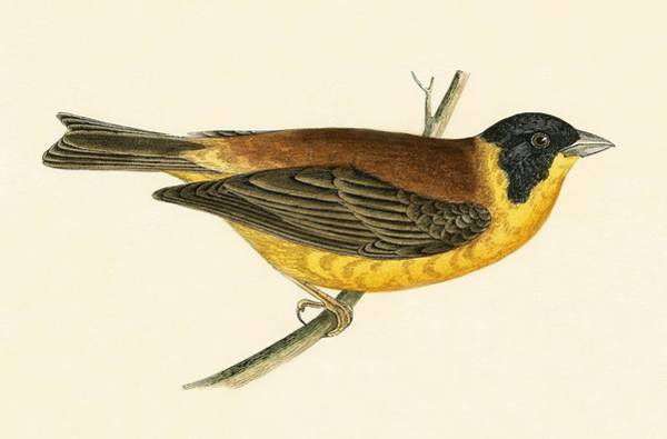 Bunting Painting - Black Headed Bunting by English School