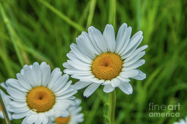 Photograph - Black-headed Daisy's by Tony Baca