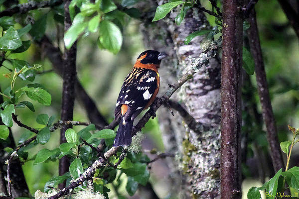 Photograph - Black-headed Grosbeak #1 Enhanced Image by Ben Upham III