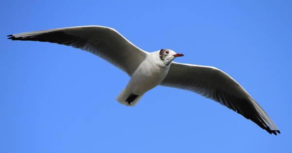 Chroicocephalus Ridibundus Photograph - Black-headed Gull by Elenarts - Elena Duvernay photo