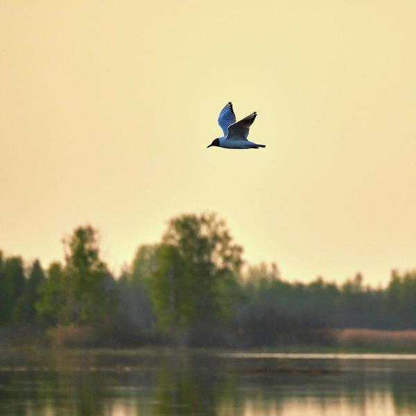 Chroicocephalus Ridibundus Photograph - Black-headed Gull Evening Flight by Jouko Lehto