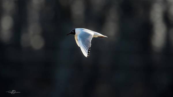 Chroicocephalus Ridibundus Photograph - Black-headed Gull Flying In The Sun by Torbjorn Swenelius