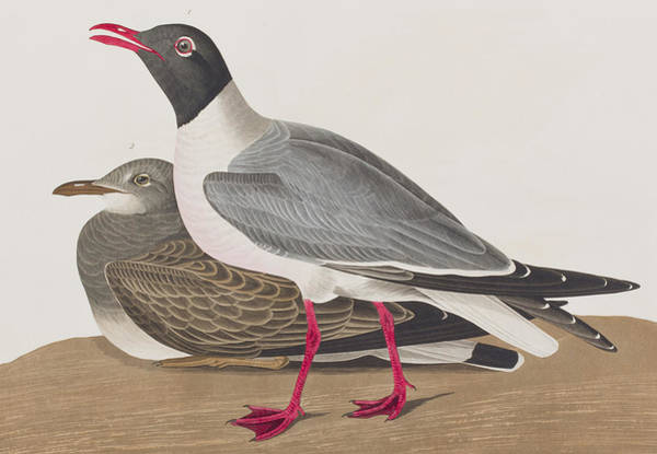 Gull Painting - Black-headed Gull by John James Audubon