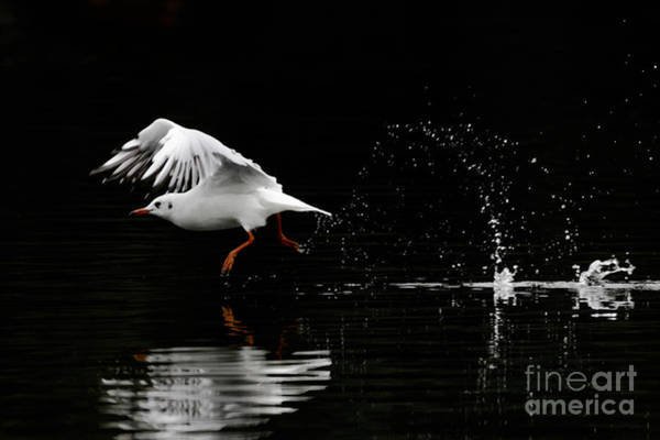Black-headed Gull - Low Key Art Print