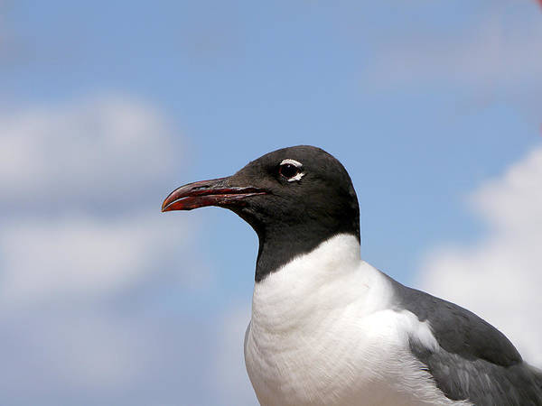 Photograph - Black-headed Gull by Richard Reeve