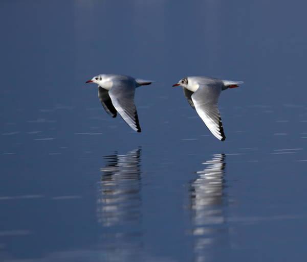 Chroicocephalus Ridibundus Photograph - Black-headed Gulls, Chroicocephalus Ridibundus by Elenarts - Elena Duvernay photo