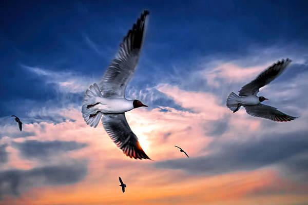 Chroicocephalus Ridibundus Photograph - Black Headed Seagulls  by Henry Jager