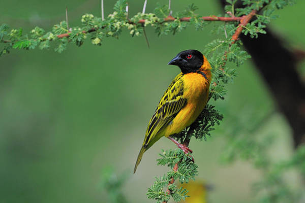 Black-headed Weaver Art Print
