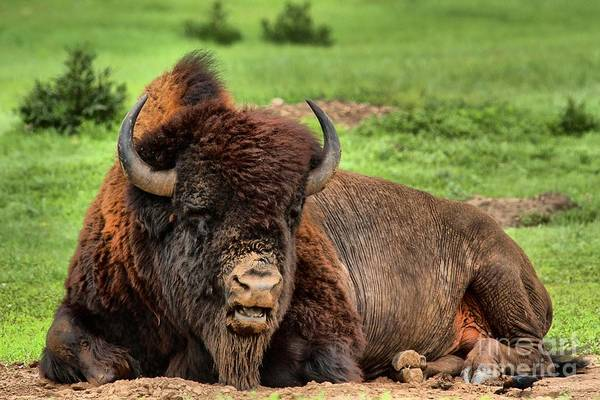Photograph - Black Hills Bison At Rest by Adam Jewell