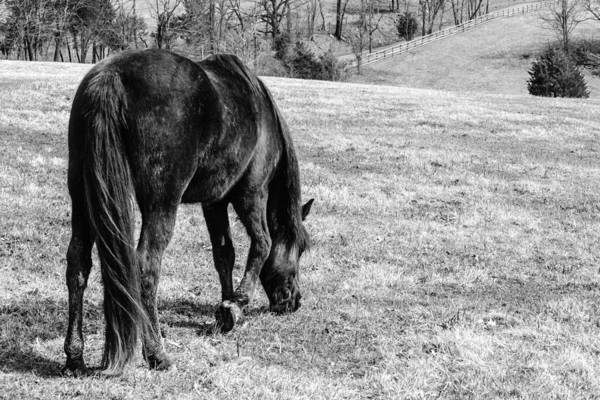 Photograph - Black Horse Grazing by Karen Saunders