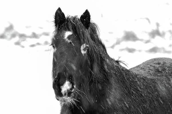 Photograph - Black Horse Staring In The Snow Black And White by Scott Lyons