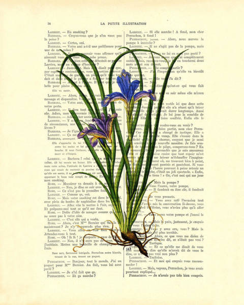 Flora Digital Art - Black Iris Antique Illustration On Dictionary Page by Madame Memento