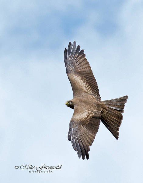 Photograph - Black Kite by Mike Fitzgerald