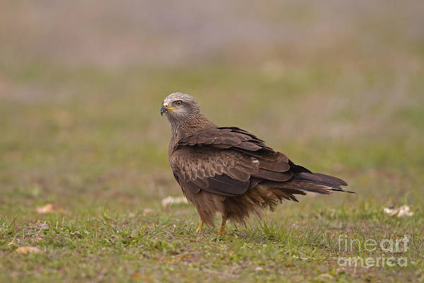 Falconiformes Photograph - Black Kite by Roger Tidman/FLPA