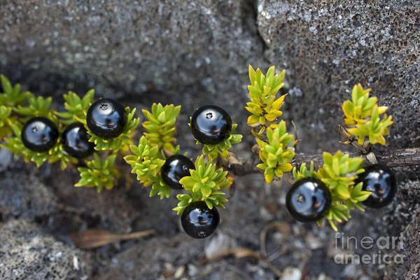 Photograph - Black Kukaenene Berries by Charmian Vistaunet