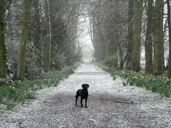 Wall Art - Photograph - Black Labrador In The Snow by Lynne Iddon