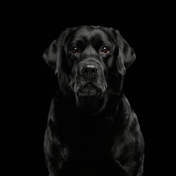 Photograph - Black Labrador  by Sergey Taran