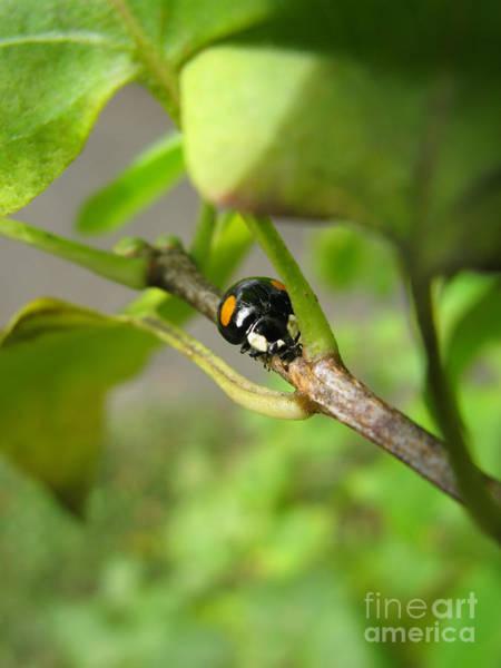Photograph - Black Ladybug 6136 by Murielle Sunier