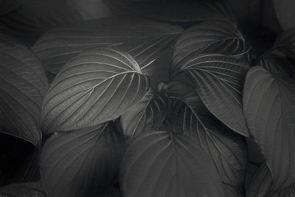 Fan Photograph - Black Leaves by Scott Norris