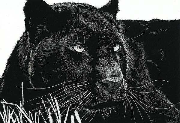 Drawing - Black Leopard by William Underwood