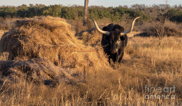 Photograph - Black Longhorn Looking Left  In Sunny Day by PorqueNo Studios