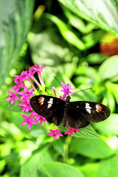 Photograph - Black Longwing Butterfly by Kay Brewer