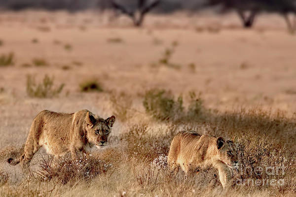 Photograph - Black-maned Lion Cubs Of The Kalahari by Kay Brewer