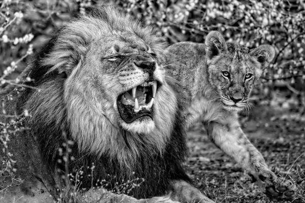 Photograph - Black Maned Lion Of The Kalahari And Cub In Black And White by Kay Brewer