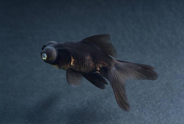 Ornamental Fish Photograph - Black Moor Ornamental Fish by David Aubrey