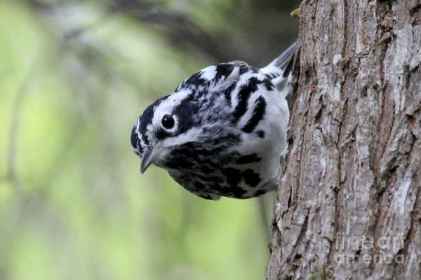 Photograph - Black-n-white Warbler by Meg Rousher