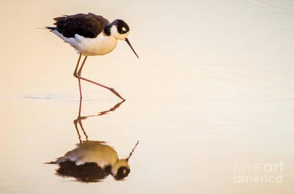 Photograph - Black-necked Stilt by Emily Bristor