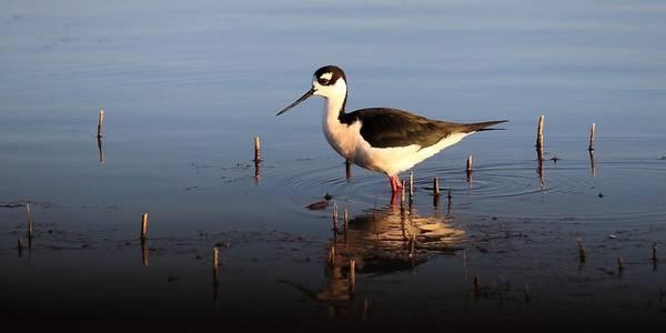 Photograph - Black-necked Stilt by KJ Swan