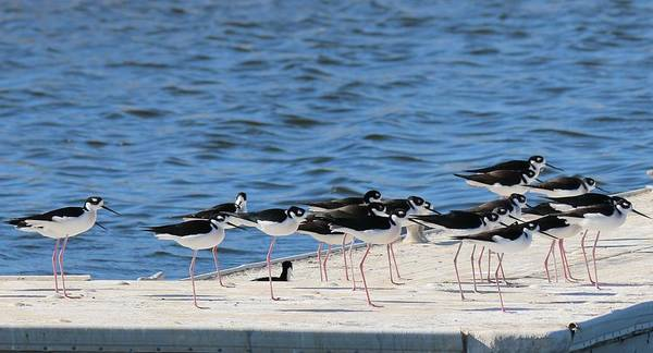 Photograph - Black-necked Stilts - 2 by Christy Pooschke