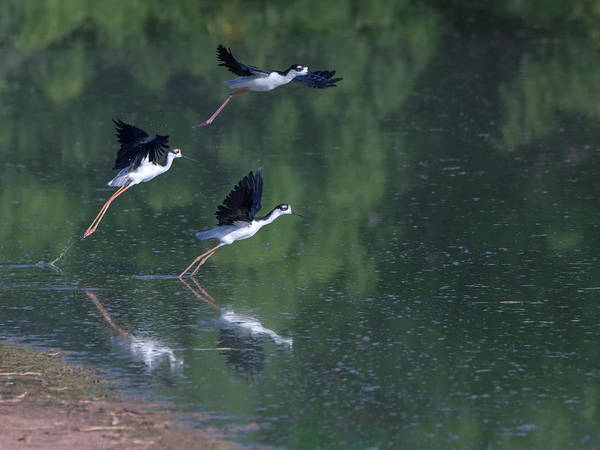 Photograph - Black-necked Stilts 4302-080917-1cr by Tam Ryan